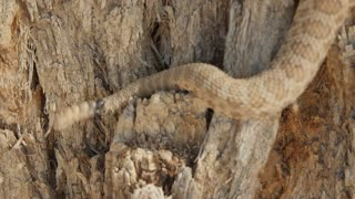 A great Basin rattlesnake climbing a tree