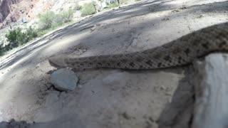 A Great Basin Rattlesnake in a dry desert