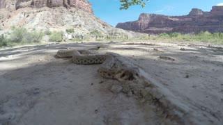 A Great Basin Rattlesnake in a vast desert in Utah