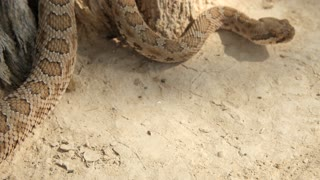 A great Basin rattlesnake in the desert