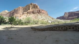 A Great Basin Rattlesnake moving across a dry desert in Utah