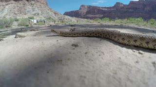 A Great Basin Rattlesnake moving across a vast desert in Utah