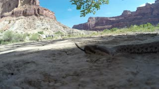 A Great Basin Rattlesnake slithering in desert of southern Utah