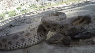 A Great Basin Rattlesnake slithering in the desert of southern Utah