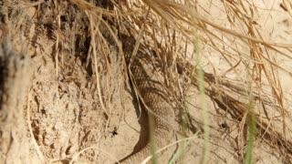 A Great Basin rattlesnake slithering in the desert