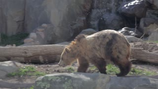 a grizzly bear at a local zoo