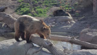 a grizzly bear at the local zoo