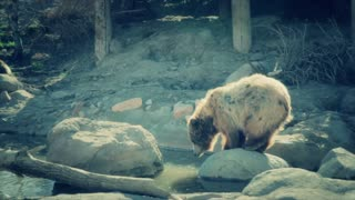 a grizzly bear in slow motion