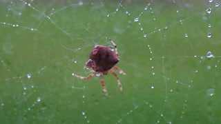 a large cat spider repairing its web outside window in rain