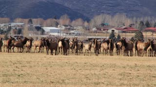a large herd of elk in field below mountain panning shot
