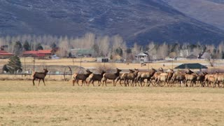 a large herd of elk in fields by houses panning shot