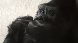 a large silver back gorilla