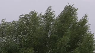 A large tree blowing in the wind and rain in field