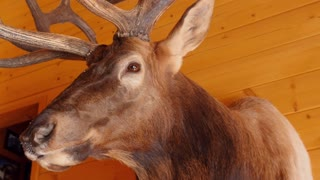 A large trophy elk mount on the wall