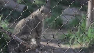 a leopard in captivity rack focus