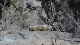 a leopard sleeping