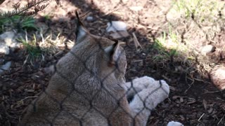 a lynx in captivity