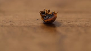 A macro shot of lady bug on its back on wood