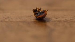 A macro shot of lady bug on its back on wood