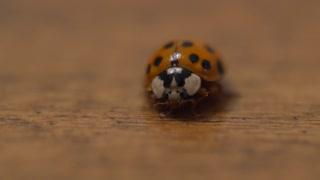 A macro shot of lady bug on wood