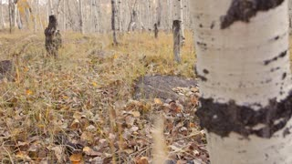 A man hunting with a rifle in the aspen trees