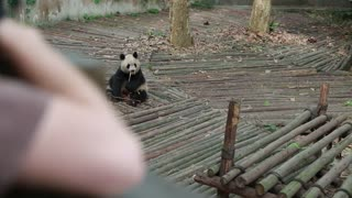 a panda at the giant panda breeding research center in chengdu