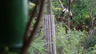 A panda sleeping in tree in the Giant Panda Breeding Research Center in Chengdu
