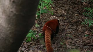a red panda at giant panda breeding research center in chengdu