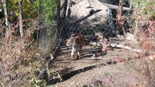 a siberian tiger in zoo