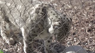a snow leopard in captivity