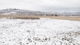 Aerial Amazing Shot Of A Beautiful Herd Of Elk Grazing In Field