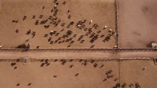 Aerial dolly shot of cows walking in a stockyard