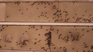Aerial dolly shot of cows walking in  stockyard