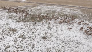 Aerial High Rotating Shot Of A Large Herd Of Elk Grazing In A Field