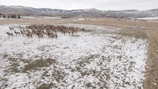 Aerial Rotating Shot Of A Beautiful Herd Of Elk Grazing In A Field