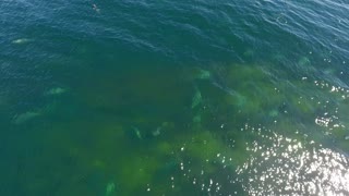Aerial shot grey and harbour seal swimming in Cape Breton