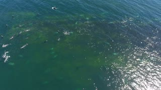 Aerial shot of grey and harbour seal swimming in Cape Breton