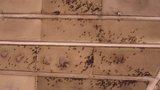 Aerial timelapse shot of cows walking in a stockyard