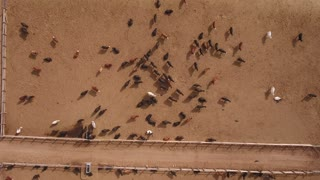 Aerial travelling shot of cows walking in a stockyard