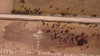 Aerial travelling shot of cows walking in stockyard