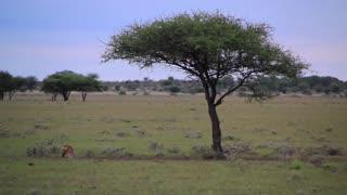 African Jackal under tree