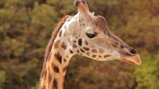 An African Giraffe