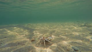 An ocean crab walking along ocean sandy floor