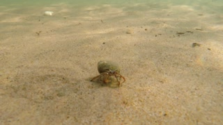 An underwater shot of a ocean sand crab walking in sand on beach