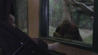 baby boy in a stroller watching gorilla