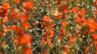 Beautiful orange flowers in a desert tilting shot