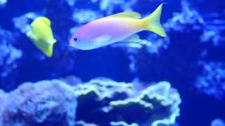 Beautiful purple and yellow tropical fish swimming