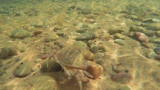 Beautiful sea crab walking along ocean sandy floor
