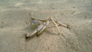 Beautiful sea crab walking along the ocean sandy floor