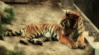 Beautiful Siberian Tiger at Zoo